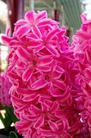Луковицы гиацинта садового Vuurdaak 2 шт