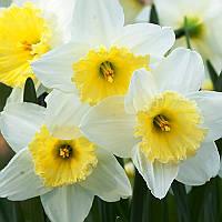 Нарцисс Корончатый Ice Follies (Айс Фолиес) ранний (выкопанные живые растения с луковицей).