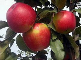 Саженцы яблони среднеспелой Айдаред