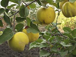 Саженцы айвы ранней яблоковидной