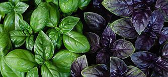 Базилик Зеленый ароматный крупнолистный 200 г Agromaksi