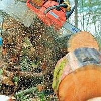 Спил больших деревьев в Харькове