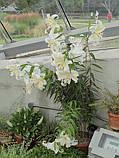 Лілія Auratum горшечна, низькоросла, фото 4