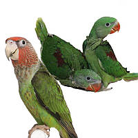 Средние попугаи-александрийский,каики,синегальский,Лори и лорикеты.