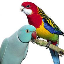 Попугаи-разелла,ожереловый.монах,аратинга
