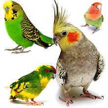 Попугаи разных видов – волнистые, корелла, какарики, неразлучники, певчий попугай