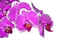 Фотообои орхидеи малиновые