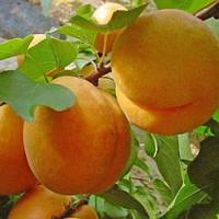 Саженцы абрикоса раннего  Ананасный