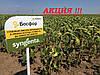 Семена подсолнечника Босфора Сингента 2016, 2017 высокоурожайный гибрид лидер засухоустойчивости