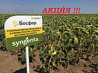 Семена подсолнечника Босфора Сингента 2016, 2017 высокоурожайный гибрид лидер засухоустойчивости, фото 1