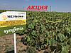 Семена подсолнечника Неома Экстра Сингента (под Евролайтинг) 2016, 2017 высокоурожайный гибрид