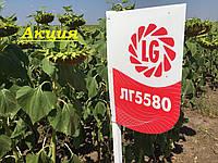 Семена подсолнечника ЛГ5580 Экстра Лимагрейн 2016, 2017 высокоурожайный гибрид