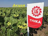 Семена подсолнечника Тунка Экстра Лимагрейн 2016, 2017 провереный высокоурожайный гибрид