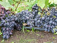 КОДРЯНКА, саженцы винограда