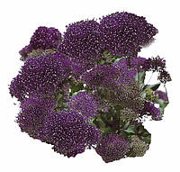 Трахелиум Passion Deep Purple, Sakata 1 000 драже