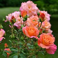 Як правильно посадити троянду