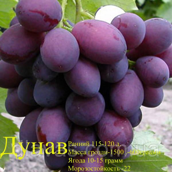 Виноград столовый Дунав, Дунов (Dunav) (Чудо Болгарии) сорт ранний.