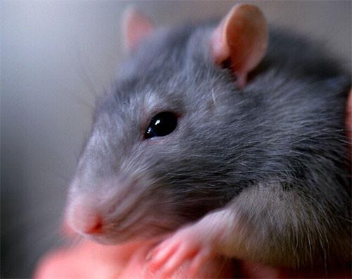 Средства от крыс, мышей и грызунов