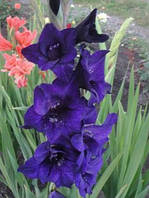 Гладиолус Black Velvet (Блэк Велвет) 3 шт./уп., крупноцветковый