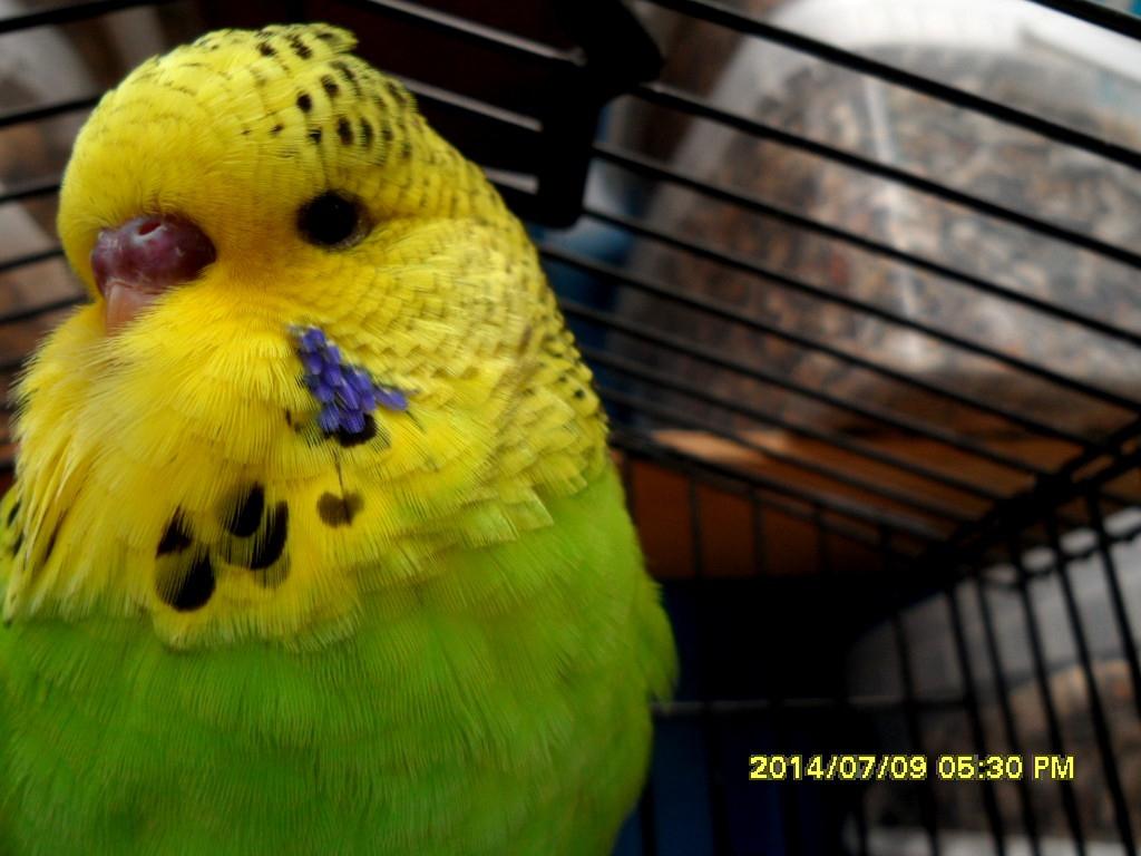 Наши Выставочные попугаи ЧЕХИ.( потомство)