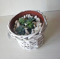 Композиція із живих рослин у плетеному білому кашпо