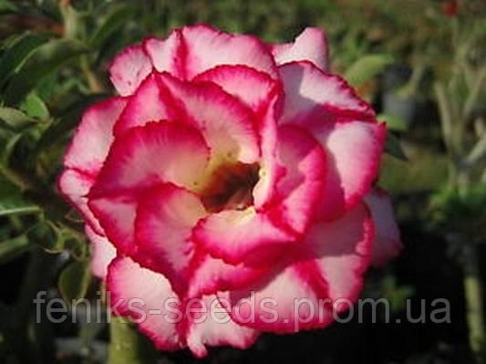 "АДЕНИУМ - РОЗА ПУСТЫНИ ""rosemarie"" (Adenium Obesum Desert Rose ""rosemarie"")"