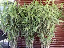 Бамбуковая Трава семена