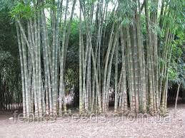 Семена Бамбук Белый Призрак