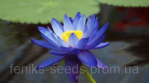 Кувшинка голубая семена