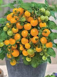 Семена Томат Комнатный желтый