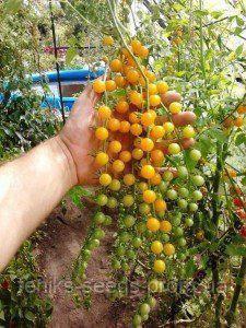 Семена Томат Комнатный Смородина желтый