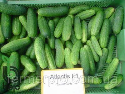 Семена огурца Атлантис F1 /Atlantis F1 10 грамм Bejo