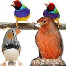 Декоративная птица – канарейки, амадины, ткачики