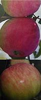 """Яблоня """"Мельба"""""""