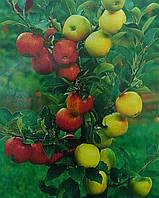 Дерево-сад (несколько сортов яблок на одном дереве)