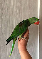 Александрийский попугай - птенцы выкормыши