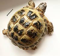Сухопутная черепаха, фото 1