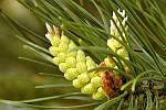 Пыльца сосны поможет не только от кашля, но и от других недугов