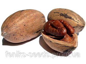 Семена КАРИЯ ПЕКАН (Carya illinoinensis)