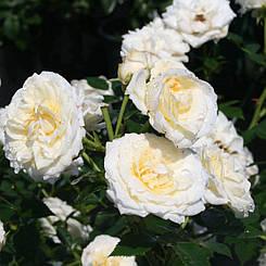 "Троянда бордюрна ""ХОНЕМІЛК"" ('Honeymilk') / Патіо / Флорибунда / Преміум Якість"