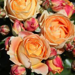 """Троянда бордюрна """"ДОЛЬЧЕ ВІТА"""" ('Dolce Vita') / Патіо / Флорибунда / Преміум Якість"""