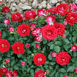 "Троянда бордюрна ""МЕЙДІ"" ('Maidy') / Патіо / Флорибунда / Преміум Якість"
