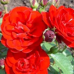"""Троянда бордюрна """"КОРДУЛА"""" ('Cordula') / Патіо / Флорибунда / Преміум Якість"""
