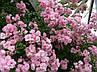 Роза плетистая Розовая Жемчужина, фото 7