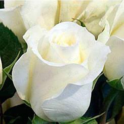 "Троянда чайно-гібридна ""АНАСТАСІЯ"" ('Anastasia')"