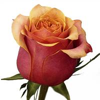 Роза чайно-гибридная Игуана