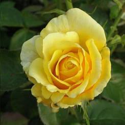 """Троянда чайно-гібридна """"ІЛІОС"""" ('Ilios')"""