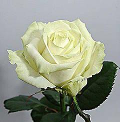 """Троянди чайно-гібридна """"АВАЛАНЖ"""" (Avalanche)"""