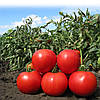 Семена томата Анита (KS 829) F1 1000 сем. Китано