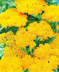 Тысячелистник желтый  многолетник (имп.) , фото 2